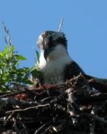 Westport Island osprey in the nest